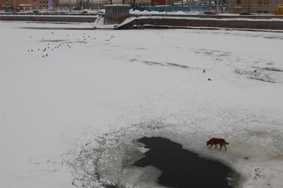 У Сампсониевского моста спасали собаку: Фото