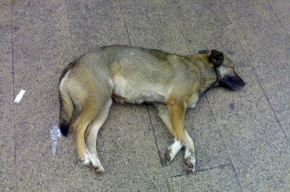 «Африканка» в Петербурге: свиней изъяли, собак уничтожили