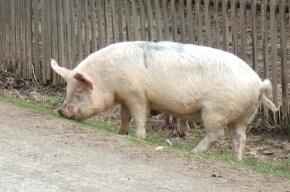 Африканской чумы свиней у животных, убитых в Володарском, не обнаружили