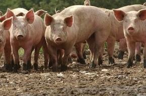 Вспышка африканской чумы не приведет к увеличению цен на свинину в Петербурге
