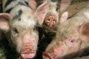 Гроза свиней проявилась в Петербурге