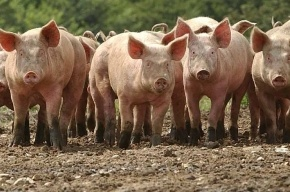 Новые случаи массовой гибели свиней от вируса африканской чумы пока не выявлены