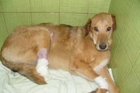 Жители Петербурга ищут хозяев псу Бонусу, которого живодеры лишили лап