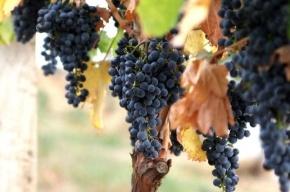 98% населения РФ пьют некачественные вина