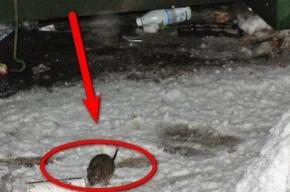 Из окна за пять минут можно увидеть как минимум одну крысу