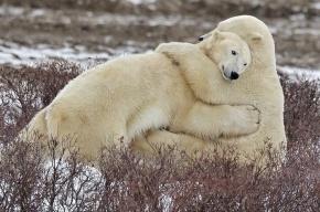 В Ленинградском зоопарке расскажут про любовь медведей