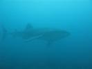 Китовая акула - в 10 метрах!: Фоторепортаж
