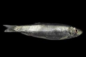 На литовском побережье Балтики лежат тонны мертвой рыбы