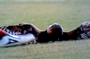 Сова, которую пнул футболист, умерла