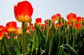 1 мая на площади Победы и у Московских ворот появятся тюльпаны