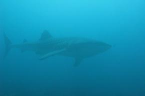 Китовая акула - в 10 метрах!