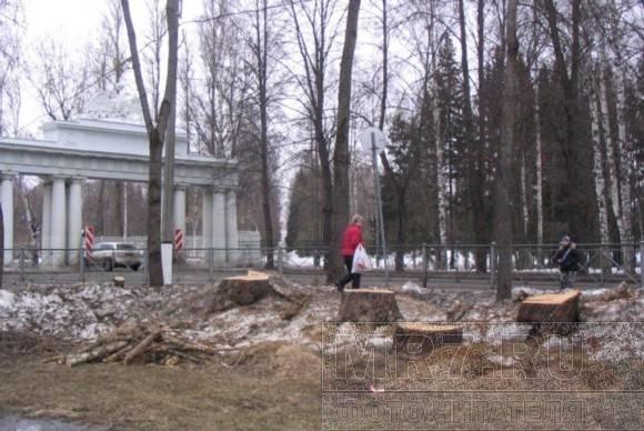 В Павловске пилят толстые деревья: Фото