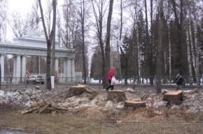 В Павловске пилят толстые деревья