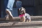 Фоторепортаж: «DOG FASHION SHOW-2011: маленькие собачки послужили большому делу»
