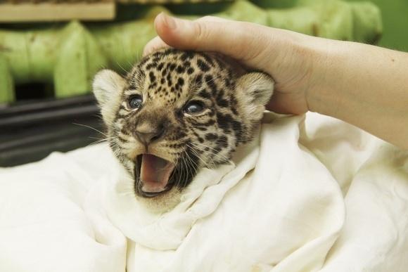 Ягуарята мучают маму: Фото