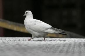 В поселке Борисова Грива нашли потерявшегося домашнего голубя
