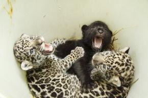 Ягуарята мучают маму