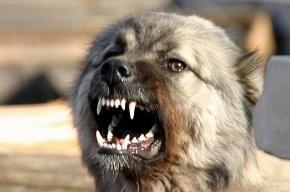 В Пушкинском районе бойцовая собака покусала двух мужчин