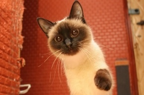 В Петербурге будут раздавать «кошек Пиотровского»