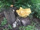 На Гражданке вырос гриб-красавец: Фоторепортаж