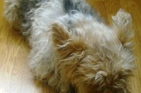 Найденная в Красном Селе собачка тянется к людям и ищет хозяина
