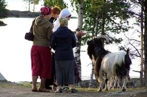 Коза валаамская