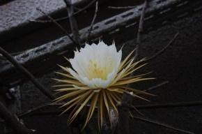 Сенсация в Ботаническом саду: распустилась «Царица ночи»