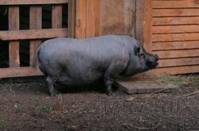 Фестиваль «Нашествие» может не состояться из-за африканской чумы свиней