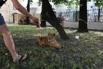 Львица Донна с Литейного ждет решения своей судьбы: Фоторепортаж