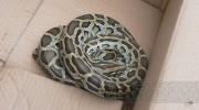 Фоторепортаж: «Спасатели о найденном питоне: Хотим отдать змейку в руки специалистов»