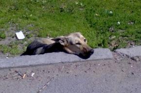Жителей Уткиной Заводи пугает стая бездомных собак