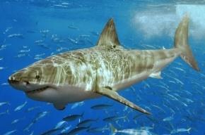 На юге Приморья акула откусила мужчине руки по локоть