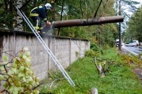 В Ольгино пожарные вовремя удалили нависшее над дорогой дерево