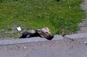 СК подтвердил: в воинской части Ленобласти офицер расстрелял собак