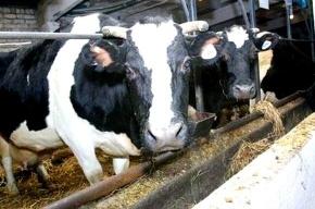 Один из бутиков Австрии посетила корова
