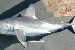 Пойманная в Приморье двухметровая акула оказалась неопасной