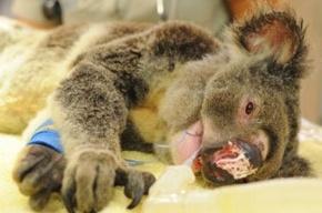 Австралийские ветеринары спасают сумчатого медведя, обстрелянного неизвестными