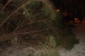 В Калининском районе ветер повалил новогоднюю ель
