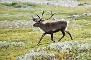 11 северных оленей задержали на границе с Финляндией