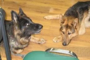 На Васильевском маньяк насилует собак