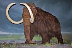 В Якутии нашли необычного мамонта