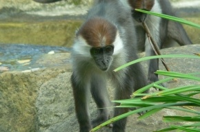 В ижевском зоопарке обезьяны работают уборщицами