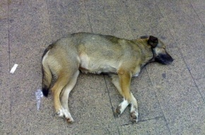 В Петербурге догхантеры зверски убили девять собак рядом с детской площадкой