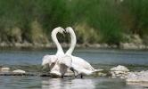 Фоторепортаж: «Лебеди-шипуны»