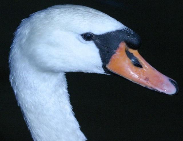 Лебеди-шипуны: Фото