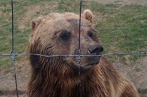 По Таллину бродит дикий бурый медведь