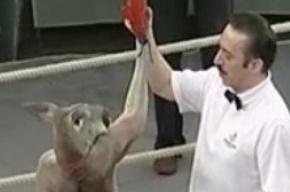 В Екатеринбурге на ринге три боксера бились с кенгуру