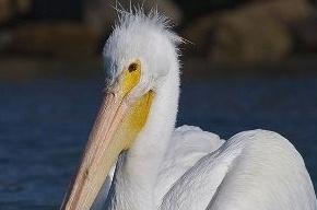 Ученые: 200 пеликанов в Перу могли погибнуть из-за вируса