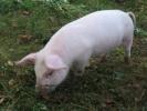 Фоторепортаж: «Свинья»