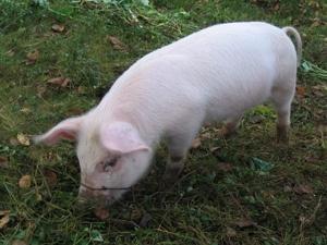 Свинья: Фото